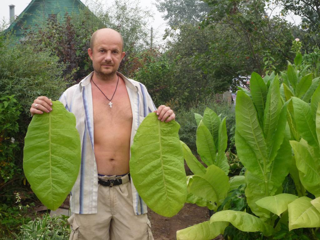 Выращивание и обработка табака в домашних условиях 25