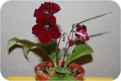 Стрептокарпус, DS - Кровавая роза