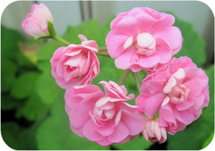 Пеларгония, Swanland Pink / Australian Pink Rosebud