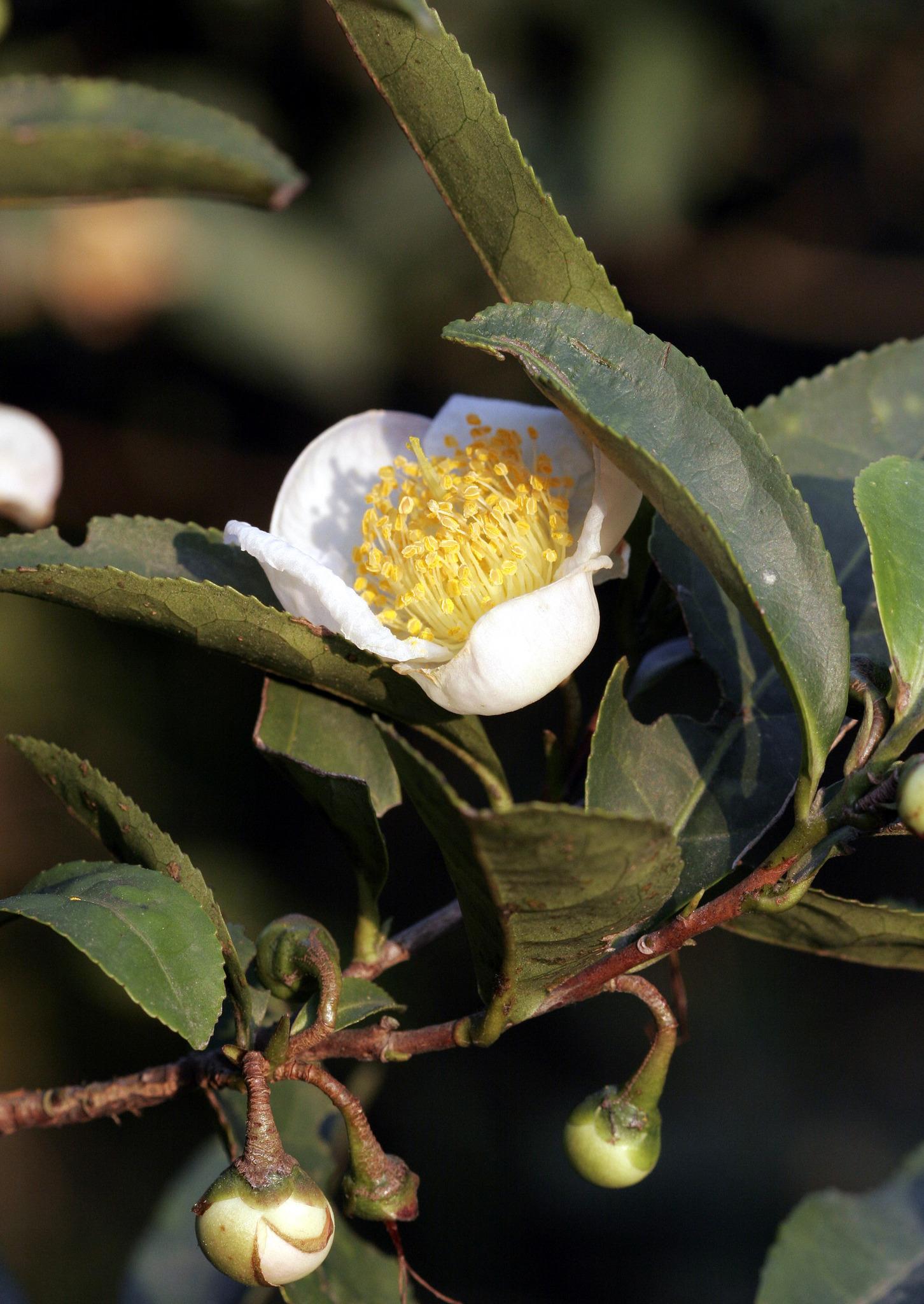 Чайное дерево эфирное масло