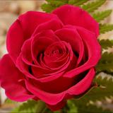 FlavourArt Роза