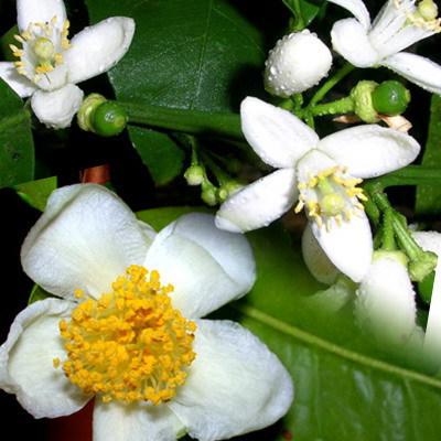 Отдушка Лепестки лайма и чайные цветочки