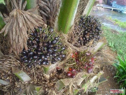 Пальмовое масло (рафинированное)