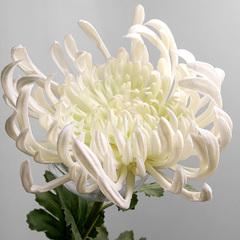 Хризантема белая А 101-3