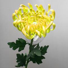 Хризантема  желтая , арт. А 101-5