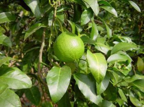 Эфирное масло бергамота (Citrus bergamia Оil)